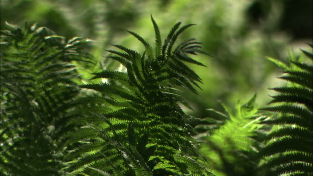 Pull focus close up on lush green ferns in Denmark