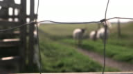 Pull focus from a wool caught in a wire fence onto three North of England mule sheep (Ovis aries), UK.