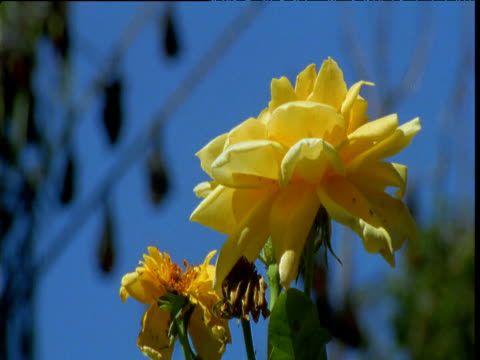 Pull focus from yellow rose to roosting fruit bats in park, Melbourne