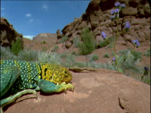 Puma approaches and sniffs at basking collared lizard, USA