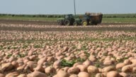 Pumpkins lay in a field as they are harvested for Nestle USA Libby's Pumpkin in Delavan Illinois A large Pumpkin Combine Harvester launches Pumpkins...
