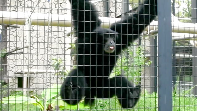 A punky gibbon has shot to stardom here because his bellowing roar sounds like he's aping a drunken middleaged office worker bungee jumping off a...