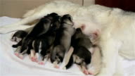 Puppies of the Siberian Husky eat breast milk.