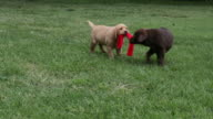 Puppies playing with stocking