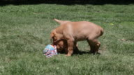 Puppies playing with throw toy