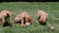Puppies playing with throw toys