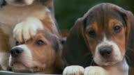 PAN Puppies resting in metal tub / Atlanta, Georgia, United States