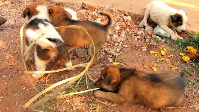 Puppy Dog Asian