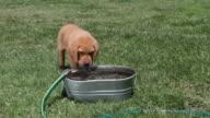 Puppy drinking water