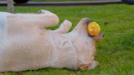 Puppy playing with a ball in the grass