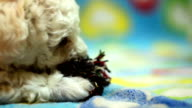 Puppy playing with a rope
