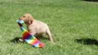 Puppy running with stocking