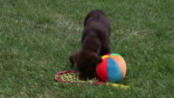 Puppy searching tennis racket and ball