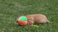Puppy searching tennis racket