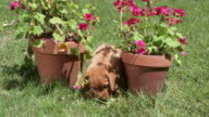 Puppy sitting between geraniums