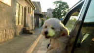 Puppy sticking head out of a moving car