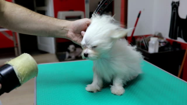 Puppy's first grooming experience with hair dryer