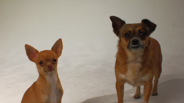 HA MS Purebred Chihuahua and mixed-breed Chihuahua standing to each other / Boston, Massachusetts, USA
