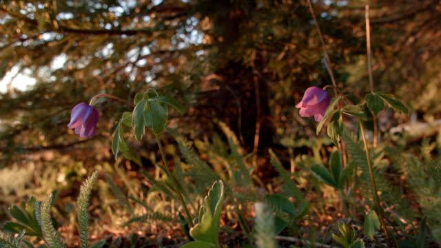 Purple bell wildflowers harebell bluebell Mt. Hood Oregon Cascades 22
