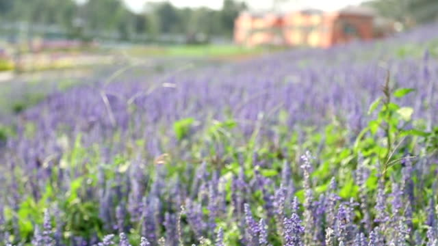 Purple celosia with garden, Shift focus HD VDO