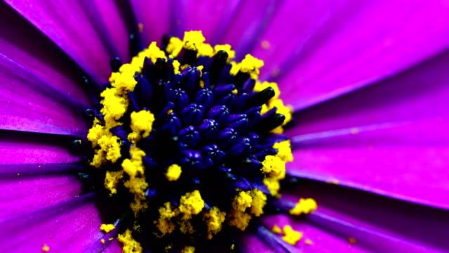 Lila blühenden Gänseblümchen