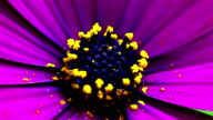 Purple daisy closing the petals