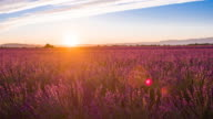 Purple fields of lavender at sunset in the summer time