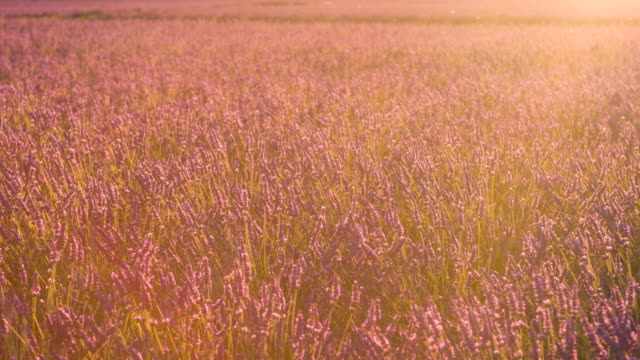 Purple fields of lavender dancing in the wind at sunset