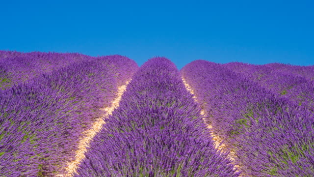Purple fields of lavender in the summer time