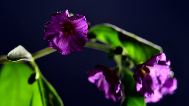 TIMELAPSE: Purple flowers fading