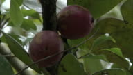 Purple fruits on tree in forest, Madagascar