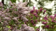 Purple  lilac.
