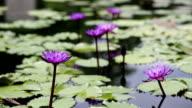Purple lotus water lily