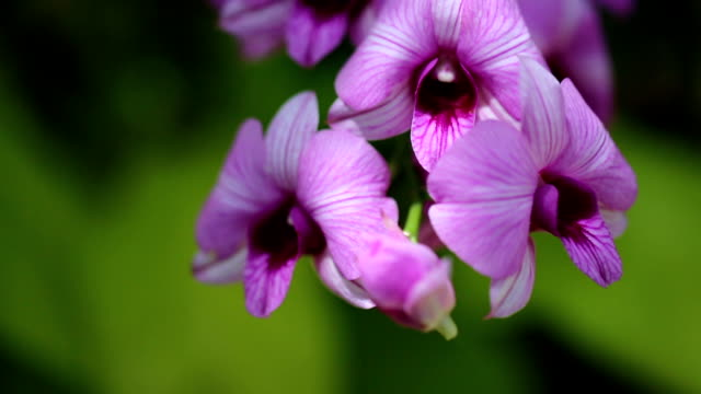 Purple orchid.