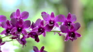 Orchidee viola