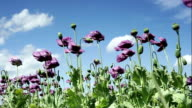 Viola Poppies