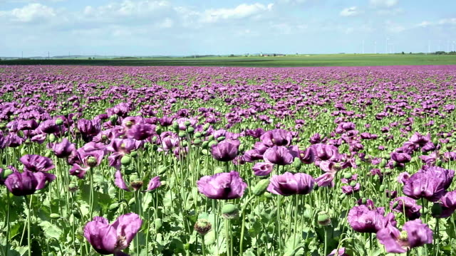 Purple Poppy Field