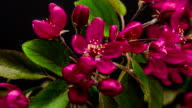 Purple Prince crabapple flower blooming in a time lapse