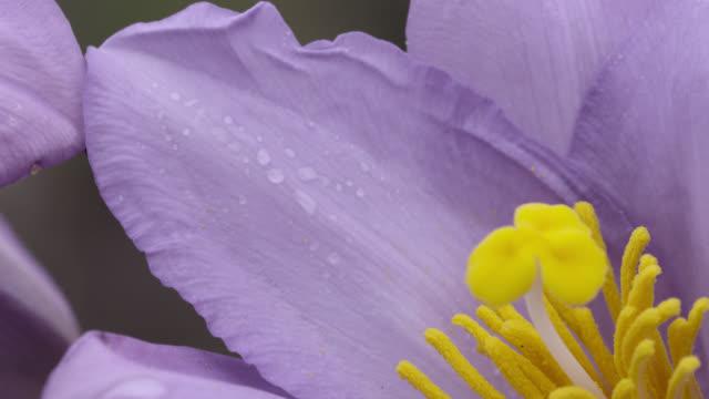 Purple Vellozia flower.