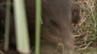 Pygmy hog and piglets, Assam, India