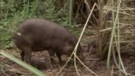 Pygmy hog and piglets forage amongst grasses, Assam, India
