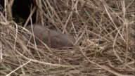 Pygmy hog and piglets in grass nest, Assam, India