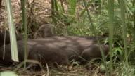 Pygmy hog piglet clambers onto parent, Assam, India