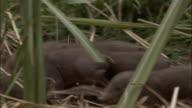 Pygmy hog piglets forage amongst grasses, Assam, India