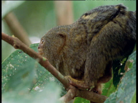 Pygmy marmoset slowly stalks along branch, grabs cricket and falls out of shot, Ecuador