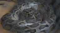 Python, glitt auf den Boden