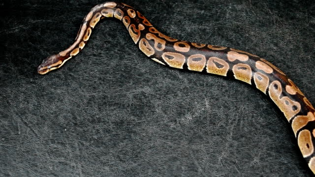 Grunge sfondo serpente pitone