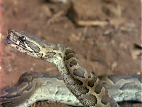 CU Python Snake swallows rat, pulls out