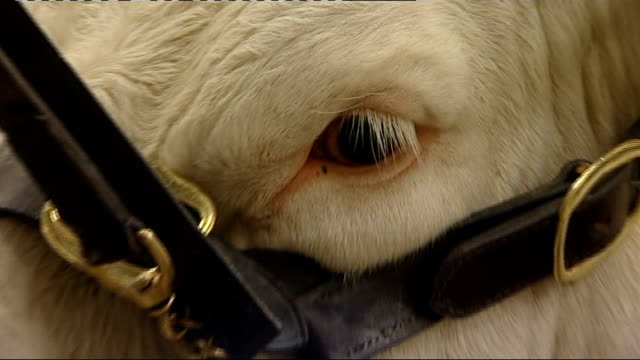visit to Welshpool livestock market WALES Welshpool THROUGHOUT*** Interior GVs of cattle in stalls Close Shot of bull's eye pull out Shots of cow and...