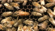 Queen And Workers Of Honey Bee